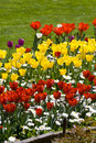 Free Yellow And Red Tulips Stock Photography - 4308852