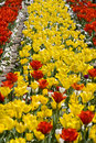 Free Yellow And Red Tulips Stock Images - 4308874
