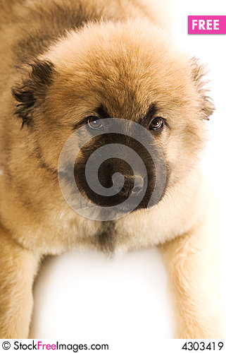 Free Caucasian Shepherd Puppy Royalty Free Stock Images - 4303419