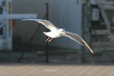 Free Seagull In Flight Royalty Free Stock Photo - 4300055