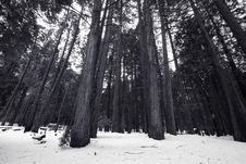 Free Redwood Trees In Yosemite National Park Royalty Free Stock Images - 4301329