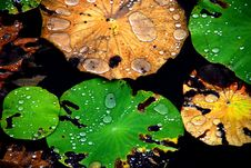 Free Crystal Water Rolling On Colourful Lotus Leaf Royalty Free Stock Photography - 4301617