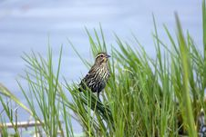 Free Female Red-winged Blackbird Stock Photography - 4302012
