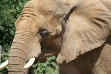 Free Closeup Of Elephant Stock Photography - 4302272