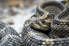 Cobra In Reptile Park, Costa Rica Royalty Free Stock Photos