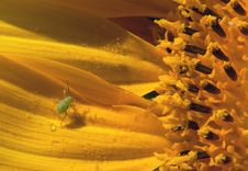Free Sunflower Stock Photography - 4303592