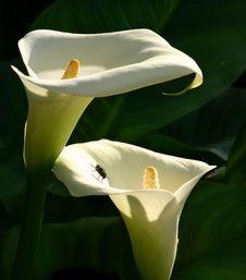Free Zantedeschia Aethiopica With House Fly Stock Photos - 4304373