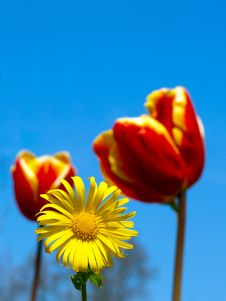 Vivid Red Tulips With A Yellow Daisy Royalty Free Stock Photos