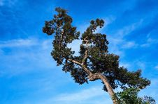 Free Lonely Crooked Tree Royalty Free Stock Images - 4305929