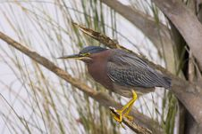 Green Heron Perched Stock Photography