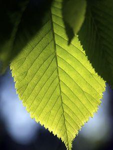 Free Elm Leaf Backlighting Royalty Free Stock Photos - 4307388