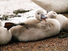 Free Cygnet Stock Photography - 4307432