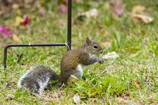Free Gray Squirrel Playing Stock Photography - 4307492