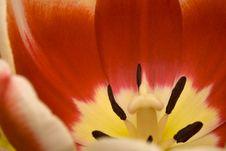 Tulip S Interior Royalty Free Stock Photos