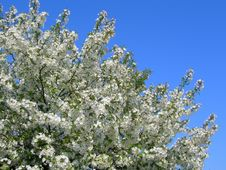 Free Blossoming White Flower Trees Royalty Free Stock Photo - 4308295