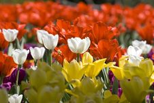 Free Multicolour Tulips Royalty Free Stock Image - 4308526