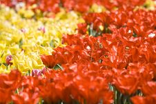 Free Yellow And Red Tulips Royalty Free Stock Photography - 4308667
