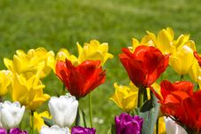 Free Multicolour Tulips Stock Images - 4308684