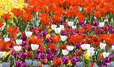 Free Multicolour Tulips Stock Photo - 4308730