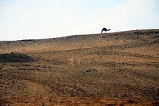 Free Camel In Sahara Stock Photo - 4309510