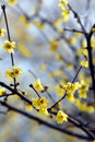 Free Plum Blossom Royalty Free Stock Images - 4312349