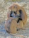 Free Baboon 11 Royalty Free Stock Photos - 4312508