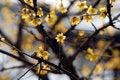 Free Plum Blossom Stock Image - 4312601