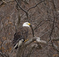 Free Bald Eagle Stock Images - 4316884