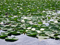 Free Water Lilies In Bloom Royalty Free Stock Photography - 4319797