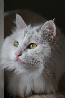 Free White Cat Royalty Free Stock Image - 4310046