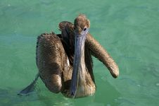 Free Pelican In Water Royalty Free Stock Photography - 4311097