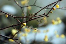 Free Plum Blossom Stock Image - 4312121