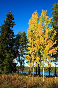 Free Birches Stock Photography - 4312372