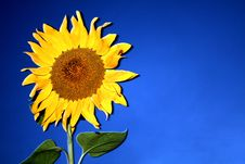 Sunflower In The Night Royalty Free Stock Images