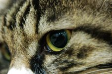 Cat Eye Royalty Free Stock Image