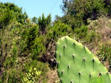 Free Cactus Plant Royalty Free Stock Photography - 4314057