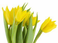 Free Yellow Tulips Stock Image - 4315501