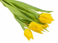 Free Yellow Tulips Royalty Free Stock Photography - 4315537