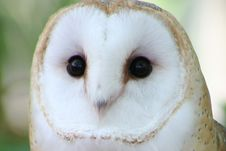Free Head Of Barn Owl Stock Images - 4316824