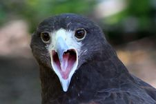 Free Head Of A Hawk Stock Photography - 4316832