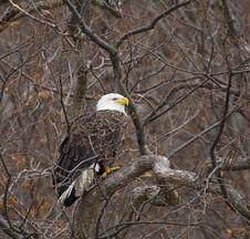 Free Bald Eagle Stock Images - 4316884