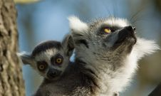 Free Cute Baby Ring-tailed Lemur Stock Photo - 4316950