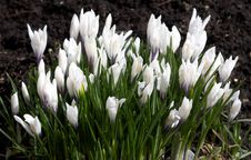 Free White Crocuses On Ground Stock Photography - 4318902