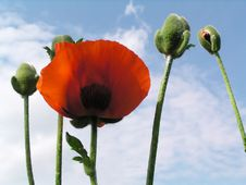 Free Red Poppy On A Blue Stock Photos - 4319023