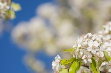 Free Spring Flowering Tree Blossom Royalty Free Stock Photography - 4319377