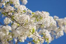 Free Spring Flowering Tree Blossom Royalty Free Stock Photography - 4319417