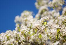 Free Spring Flowering Tree Blossom Stock Photo - 4319450