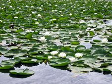 Water Lilies In Bloom Royalty Free Stock Photography