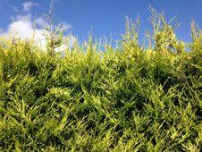 Green Hedge Stock Image