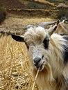 Free Mountain Goat Snacking Royalty Free Stock Photo - 4320135